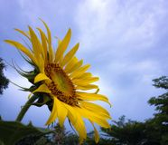 Sunflower. With sky Stock Photo