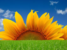 Sunflower and sky Stock Photography