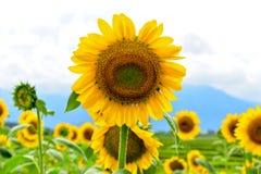 Sunflower sky backdrop stock image