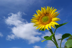 Sunflower on the sky background Stock Photo