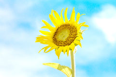Sunflower with sky background Royalty Free Stock Image