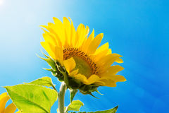Sunflower on the sky background Royalty Free Stock Image