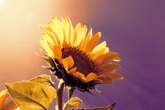 Sunflower on the sky background Stock Photography