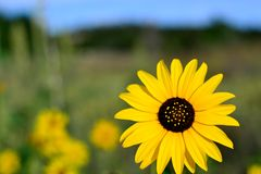 Sunflower with sky in background, Helianthus annus Royalty Free Stock Photography