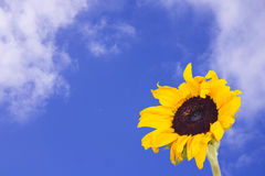 Sunflower sky. A sunflower with blue sky background with white fluffy clouds Royalty Free Stock Images