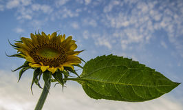 Sunflower with sky. And cloud Royalty Free Stock Image