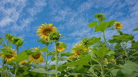 Sunflower with sky. Sunflower field blooming in the garden Stock Image