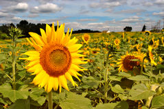 Sunflower and Sky Royalty Free Stock Photo