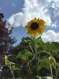 Sunflower sky Stock Images
