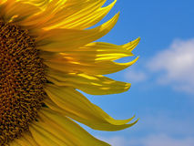Sunflower sky petals Stock Image