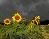 Sunflower Sky's. Sunflower on a cloudy day in a field Royalty Free Stock Image