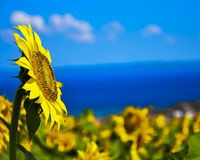 Sunflower Sky and Sea Stock Image