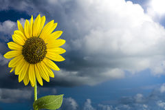 Sunflower in the Sky Stock Photography
