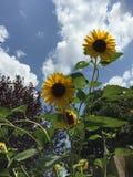 Sunflower sky. Sunflowers against a blue sky stock image
