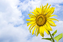 Sunflower with sky. Sunflower, the trunk is straight, about 3-4 feet high, but if planted in the cold can be as high as 6 feet leaves are alternate. The royalty free stock images