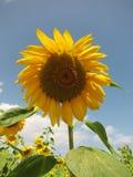 Sunflower and sky Stock Photo