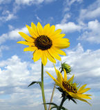 Sunflower Skyscape. Sunflowers vertically composed with partly cloudy blue sky background Royalty Free Stock Photography