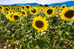 Sunflower on slope Vosges Mountains Royalty Free Stock Photography
