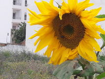 Sunflower. Small sunflower en tangier Morocco  2017 Royalty Free Stock Photography