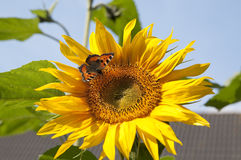 Sunflower with Small Tortoiseshell Stock Photo