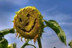 Sunflower smile Stock Photos