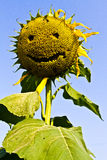 Sunflower smile. Sunflower yellow smile happily for everyone on this planet royalty free stock images