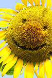 Sunflower smile. Sunflower yellow smile happily for everyone on this planet Royalty Free Stock Photo