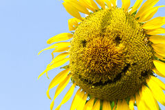 Sunflower smile. Sunflower yellow smile happily for everyone on this planet royalty free stock image