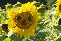 Sunflower-smiley stock photography