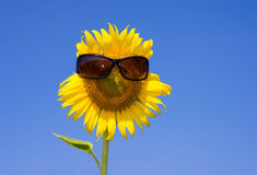 Sunflower smiling face and sunglasses Royalty Free Stock Image