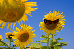 Sunflower smiling face and sunglasses Stock Photography