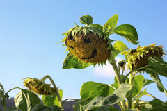Sunflower with smily face. In the summer field Stock Photos