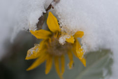 Sunflower in Snow in Yellowstone National Park Stock Images