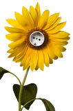 Sunflower with socket Royalty Free Stock Photos