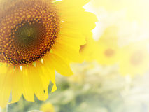 Sunflower in soft filter Royalty Free Stock Images