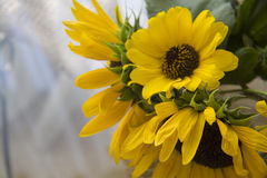 Sunflower with soft focus background Royalty Free Stock Images