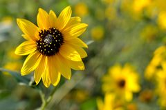 Sunflower with soft sunflowers for background, Helianthus annus Royalty Free Stock Photography
