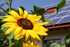 Sunflower with solar background Stock Photos
