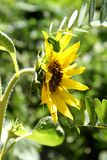Sunflower. Solar sunflower in green grass Stock Images