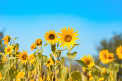 Sunflower. Some Sunflower blooming in the morning royalty free stock images