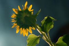 Sunflower. A sunflower is blooming under the sun Stock Image