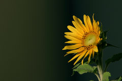 Sunflower. A sunflower is blooming under the sun Royalty Free Stock Photo