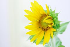 Sunflower. A sunflower is blooming under the sun Royalty Free Stock Photography