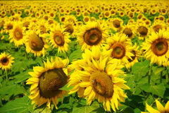 Sunflower in south france Stock Photography