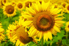 Sunflower in south france Stock Photos