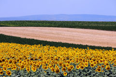 Sunflower and soybean colorful fields landscape. Summer season Stock Image