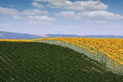 Sunflower and soybean field landscape Stock Photo