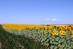 Sunflower and soybean field Royalty Free Stock Image