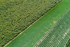 Sunflower and soybean fields. Top view of fertile green land with sunflower, corn and soybean crops. Abstract image of green fields Stock Photography