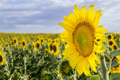 Sunflower, Species, Helianthus annuus, crop landscape, Andalusia Stock Photography